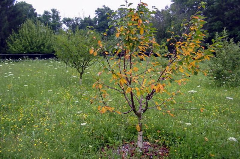 Vyšnių liga kokomikozė