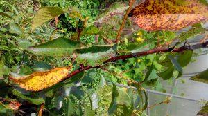 Vyšnių kokomikozė