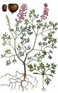 Žvirbliarūtė botanikoje