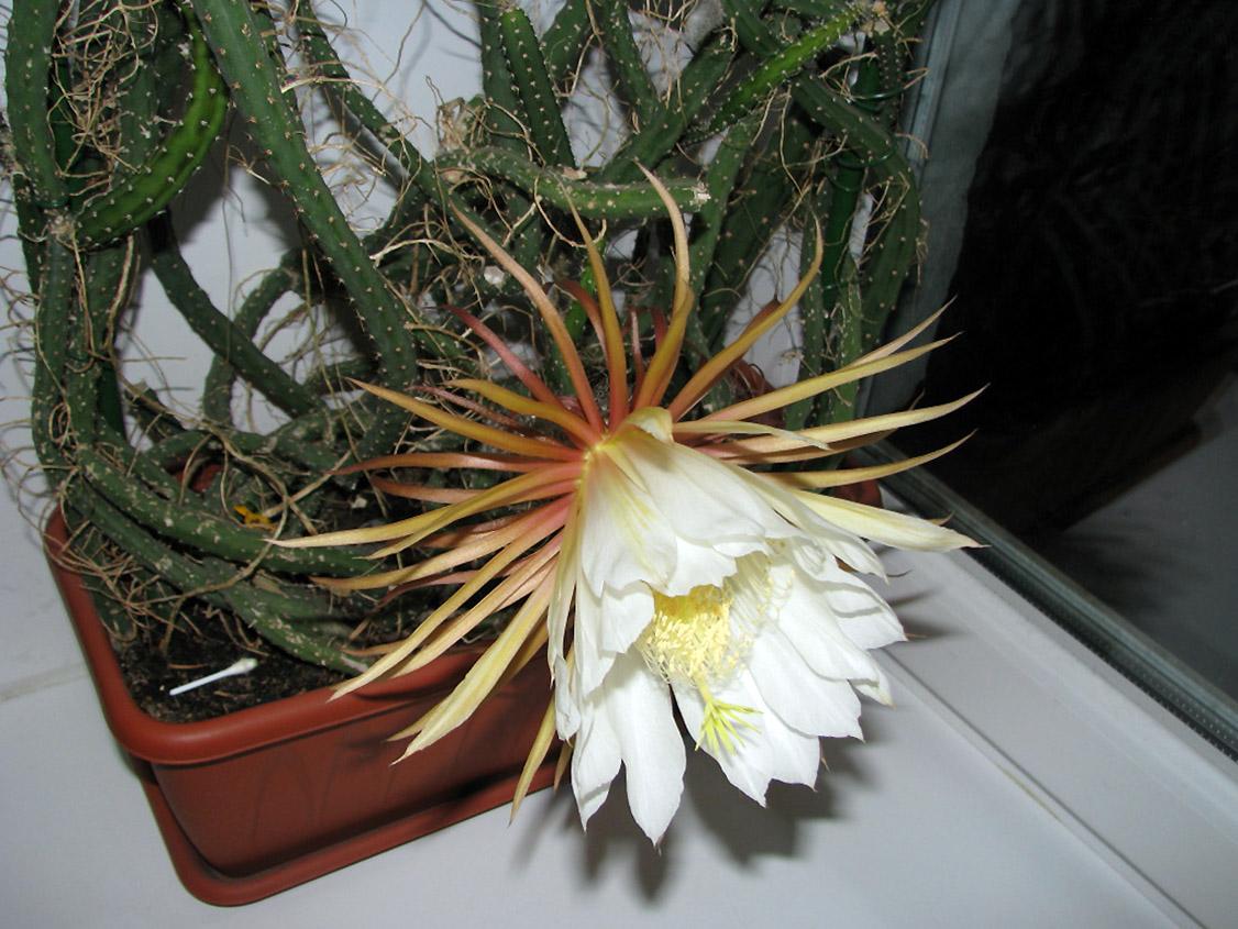 Žydintis kaktusas