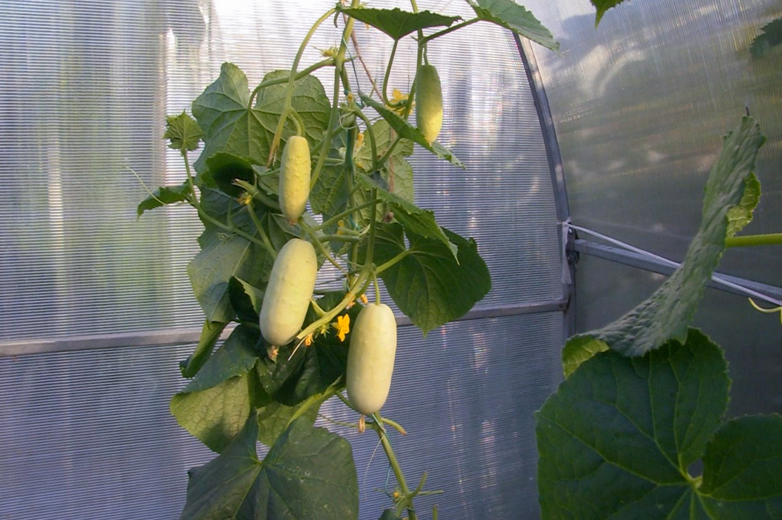 Agurkai baltais vaisiais