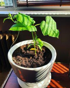 agurkų auginimas vazone