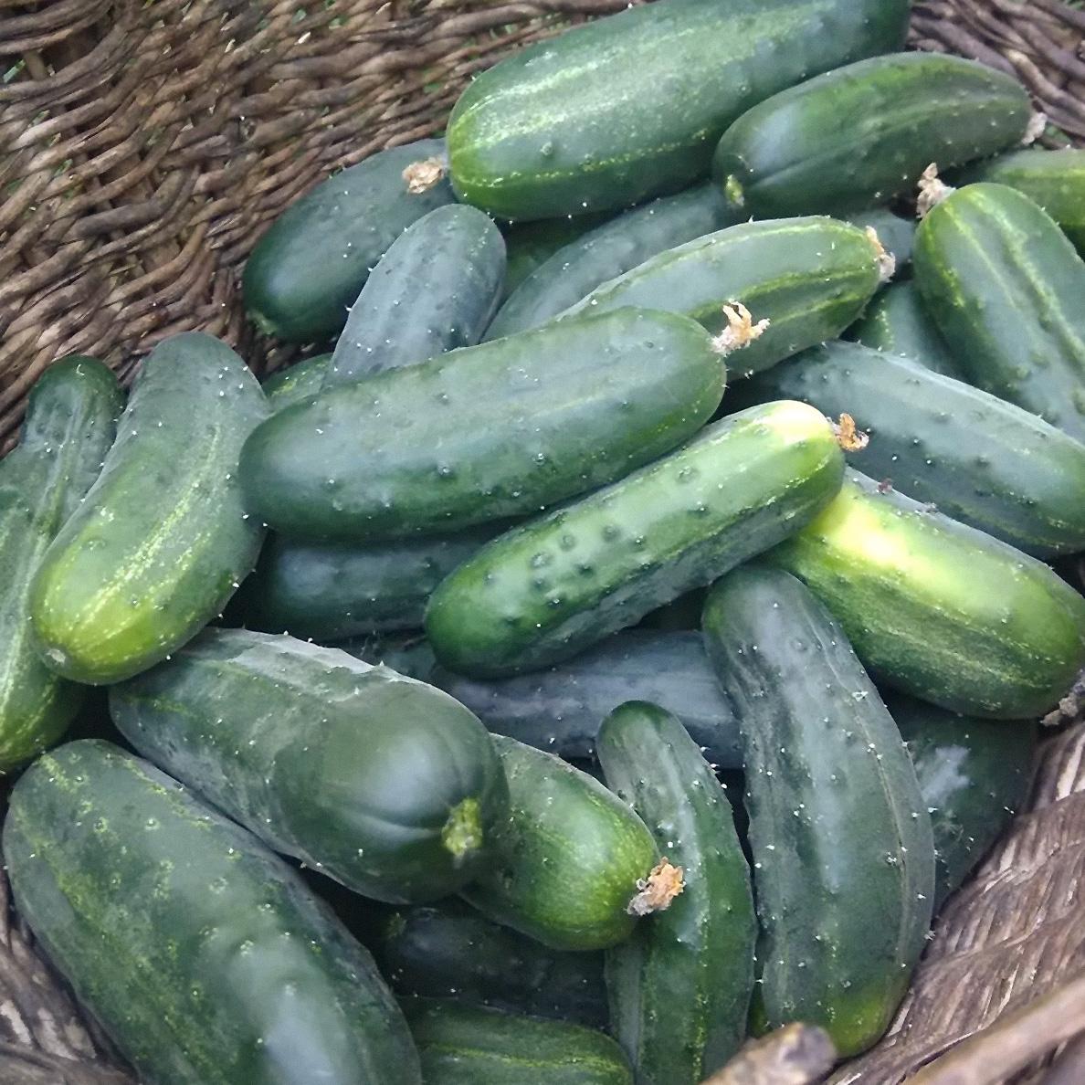 agurkų derlius (Paprastasis agurkas)