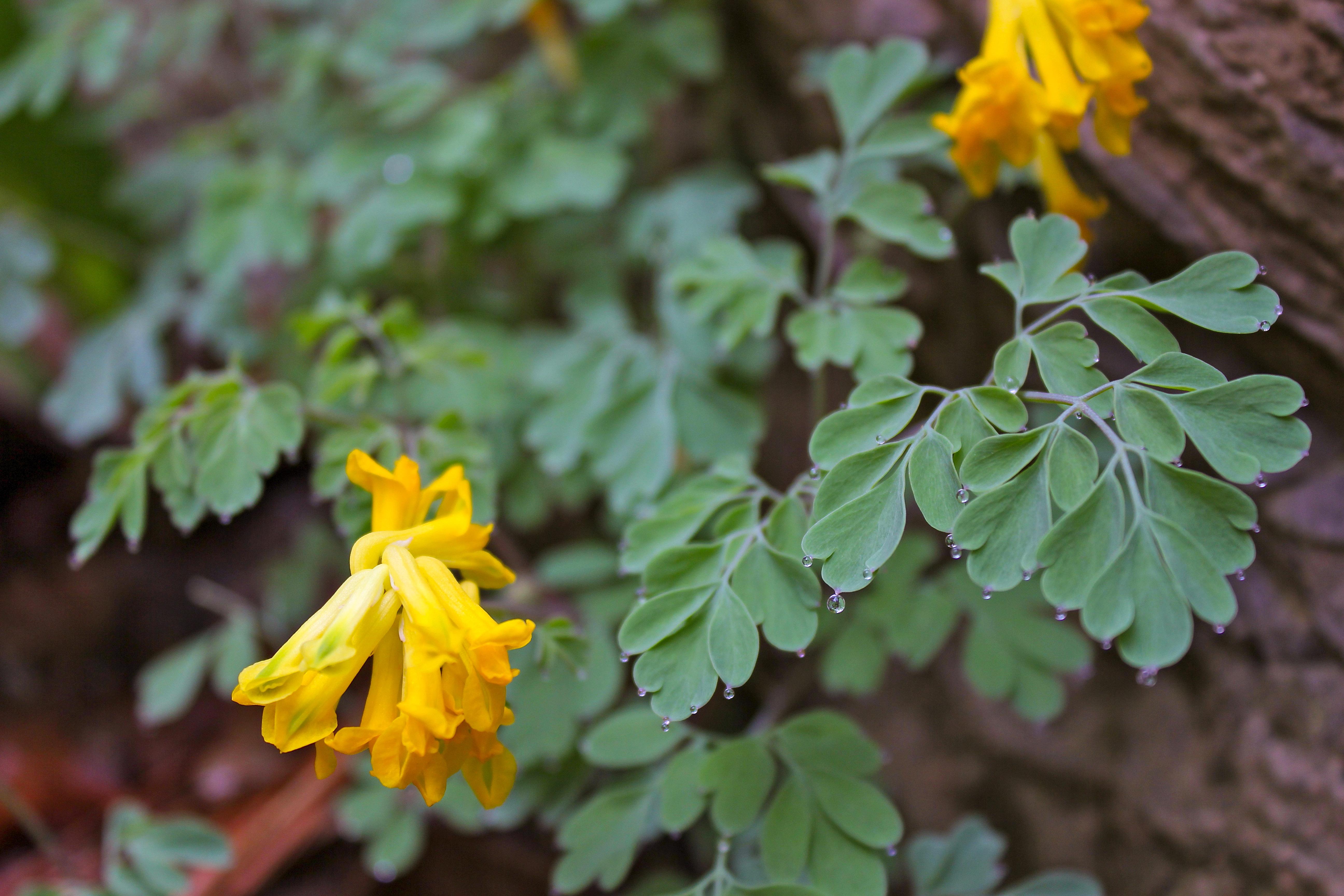 Augalas rūtenis (geltonžiedis)