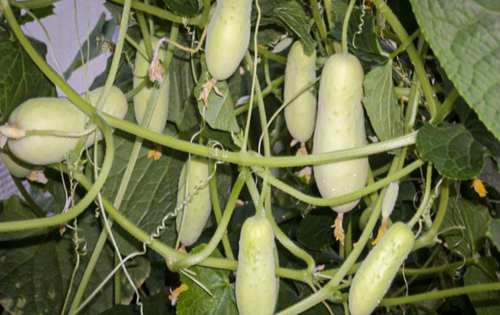 Baltieji agurkai