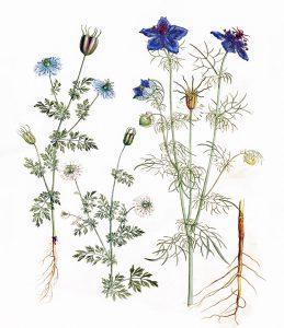 Darželinės juodgrūdės botanikoje