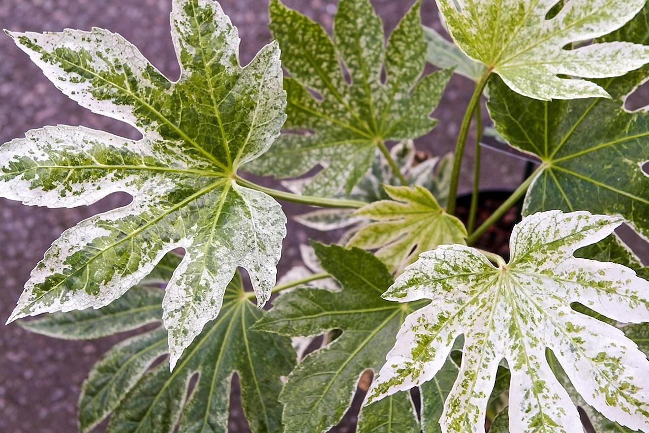 Fatsija japonica variegata