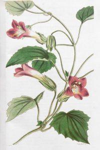 Gėlė azarina botanikoje