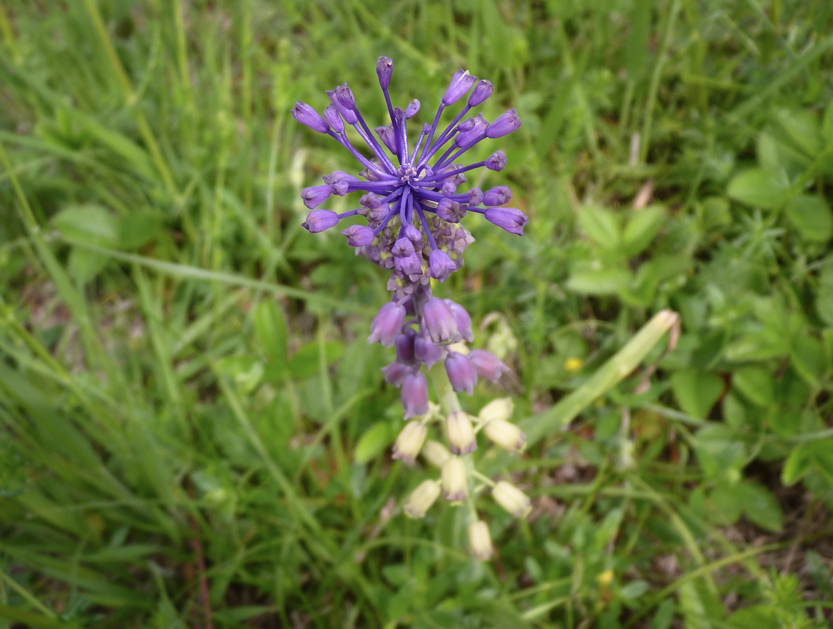 Gėlė leopoldia