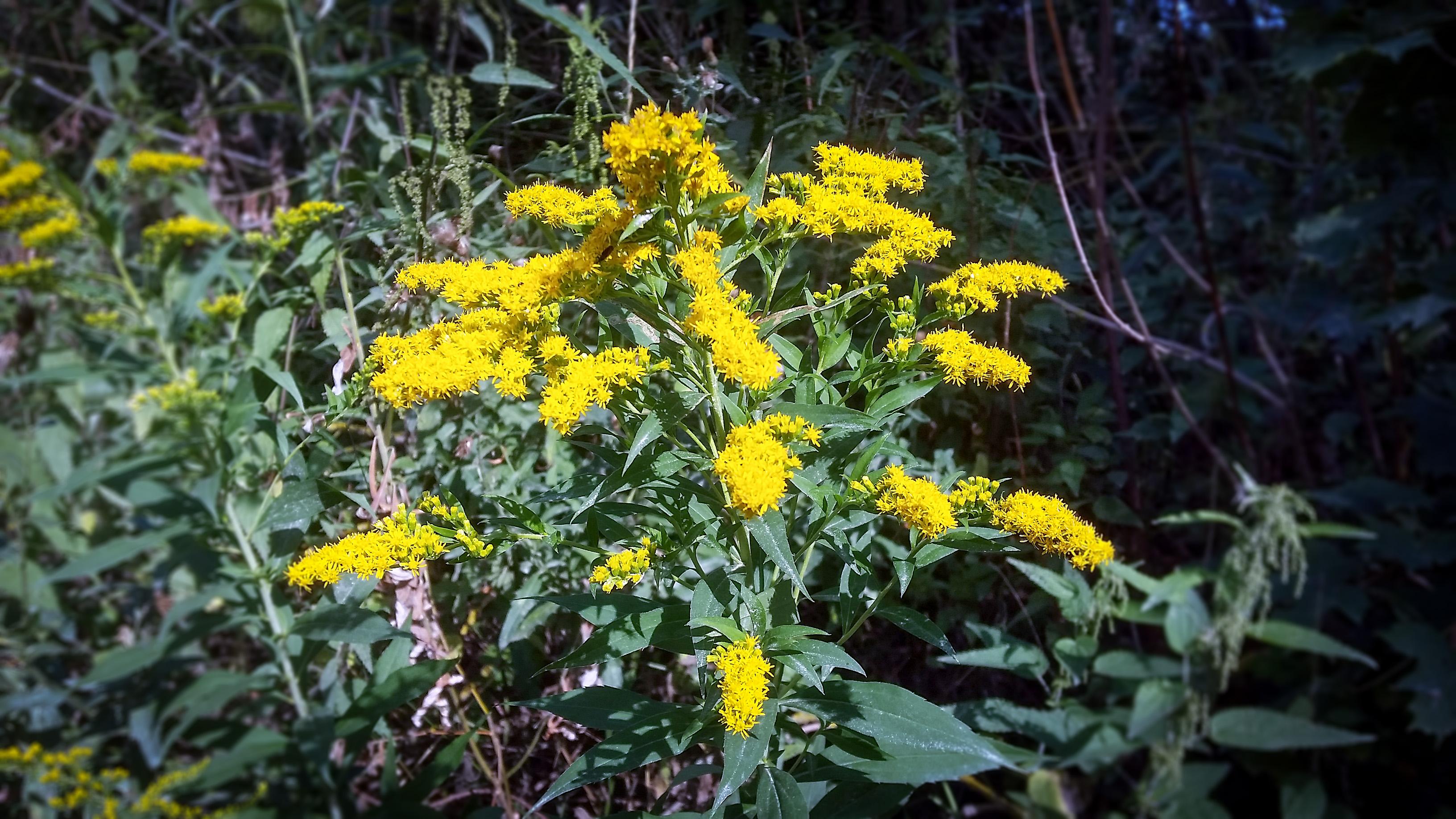 Gėlė rykštenė