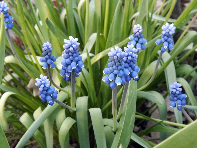 Gėlė žydrė (mėlyna)