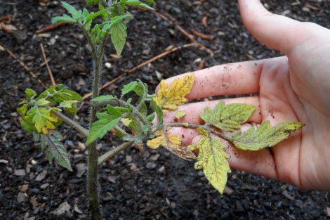 Geltonuoja pomidorų daigų lapai
