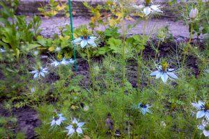 Juodgrūdės augalas