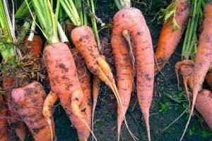 Kodėl šakojasi morkos