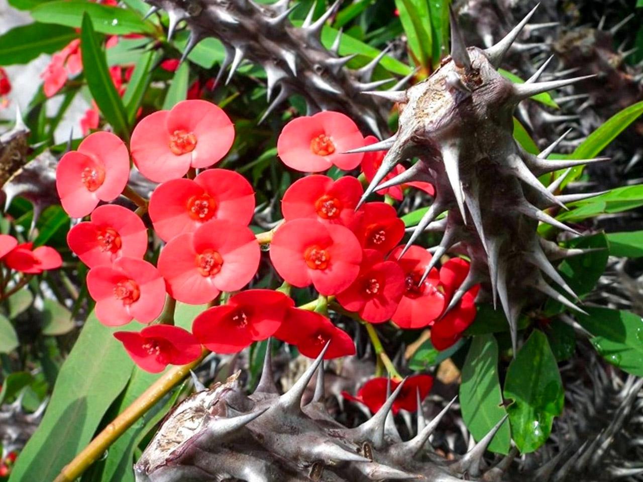 Kristaus kančios gėlė