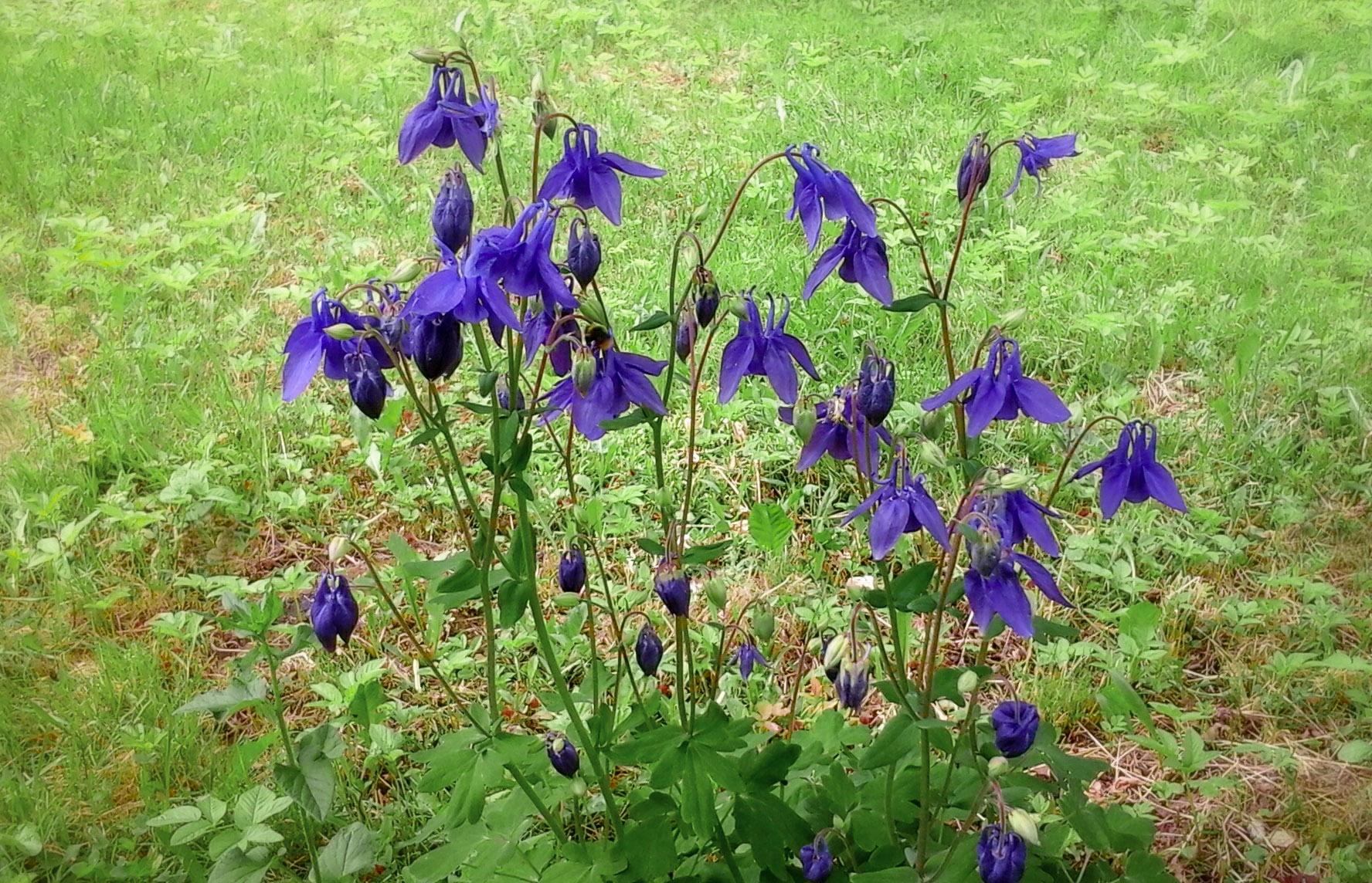 """Mėlynai žydintis augalas """"Sinavadas"""""""