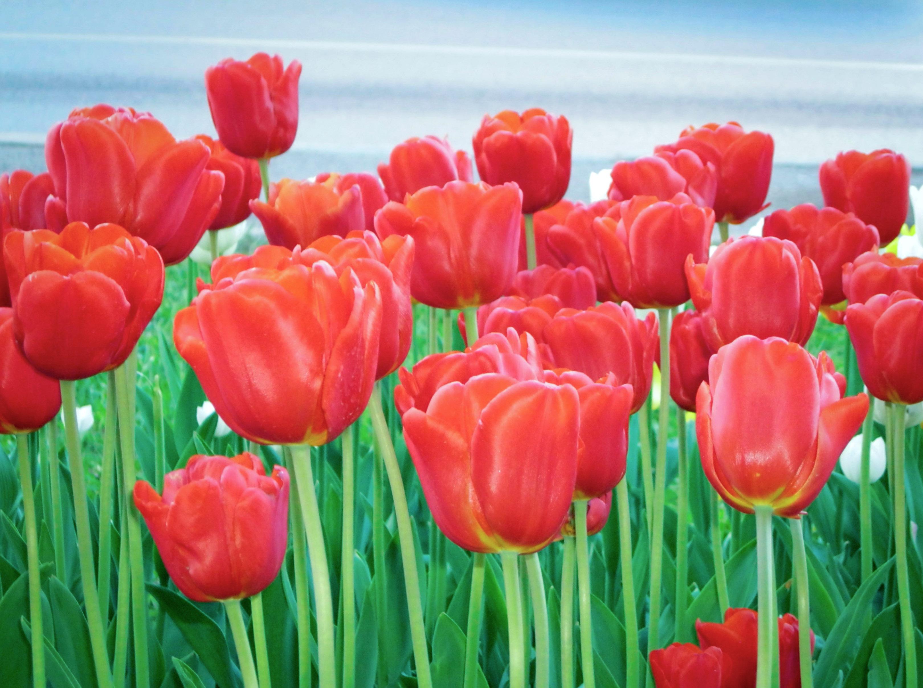Raudonos tulpės