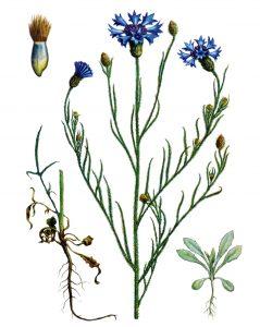 Rugiagėlė botanikoje