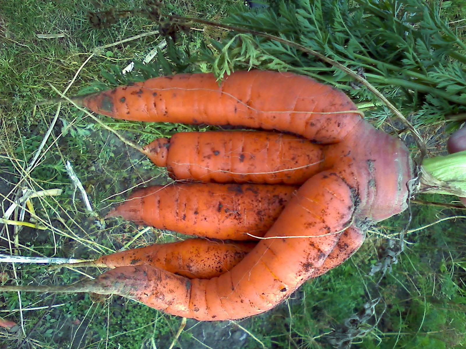 Šakotos morkos