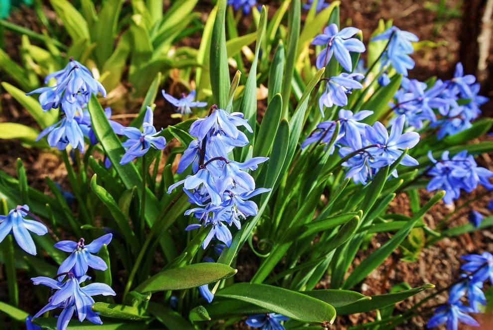 Scylės (gėlės)