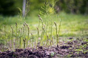 Smidrų auginimas