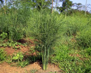 Smidrų auginimas lietuvoje