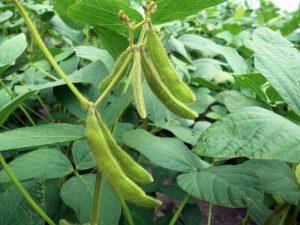Sojos auginimas