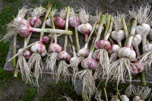 Valgomasis česnakas (allium sativum)