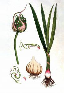Valgomasis česnakas botanikoje