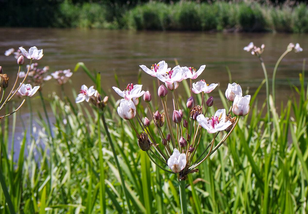 Vandens augalas - Skėtinis bėžis