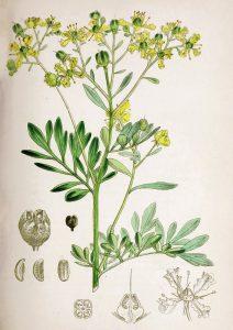 Žalioji rūta (augalas) botanikoje