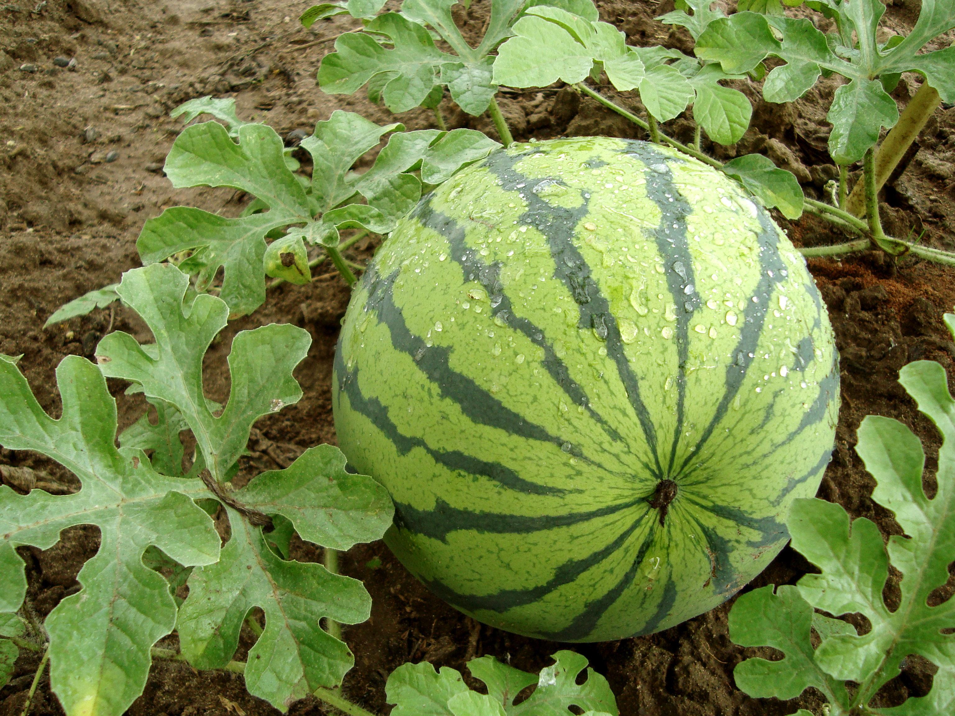 Arbūzų auginimas