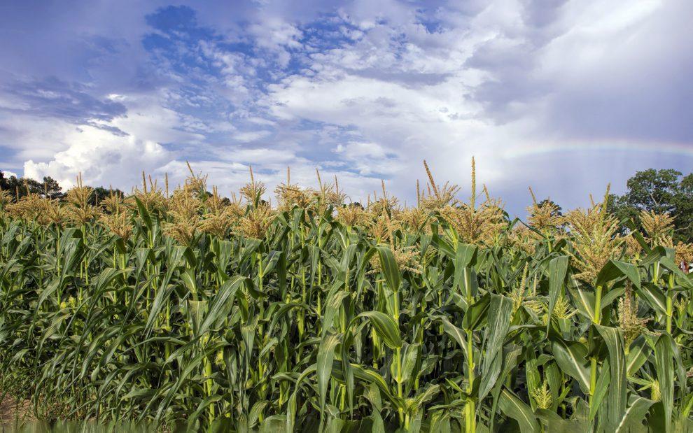 Augalas kukurūzas