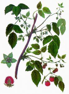 Avietės botanikoje