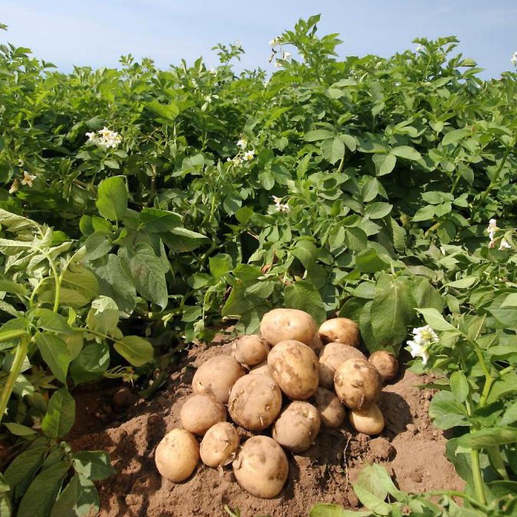 Bulvių auginimas