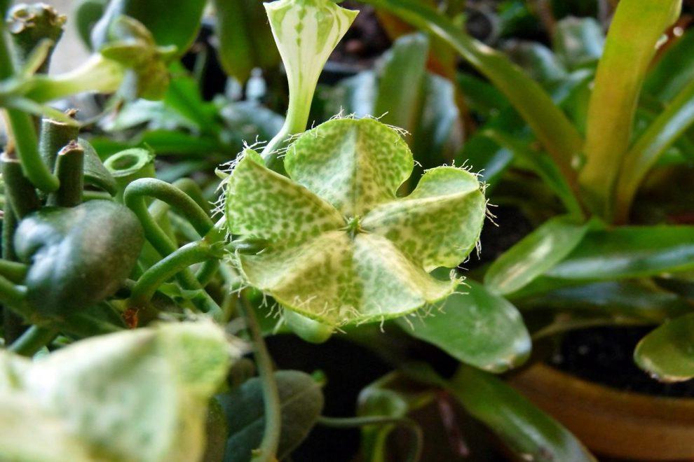 Ceropegija (kambarinė gėlė)