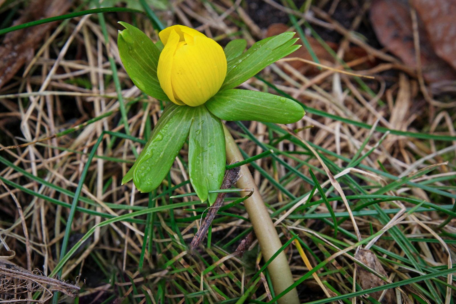 Daugiametė gėlė 'Erantis'