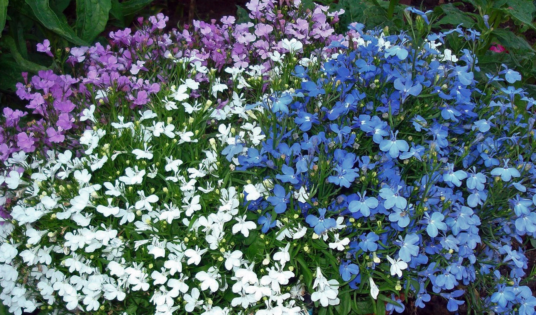 Daugiametė gėlė lobelija