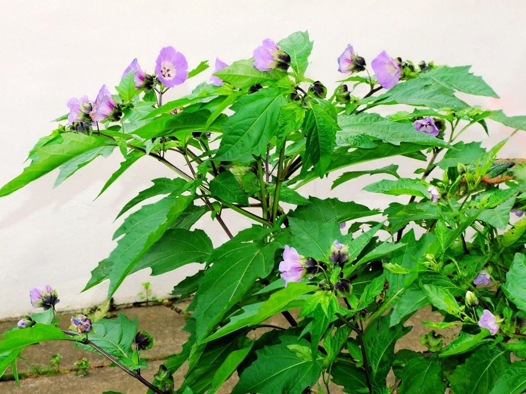 Dumplūninės nikandros auginimas