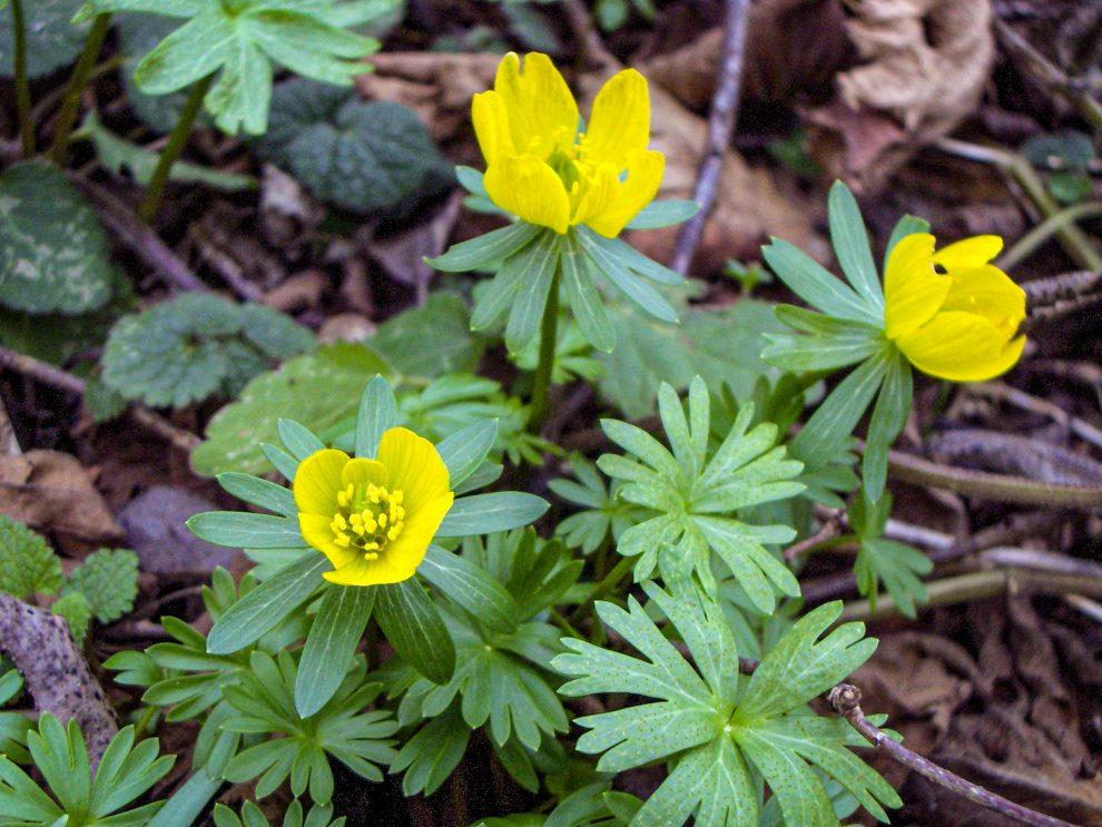Erančiai (gėlės)