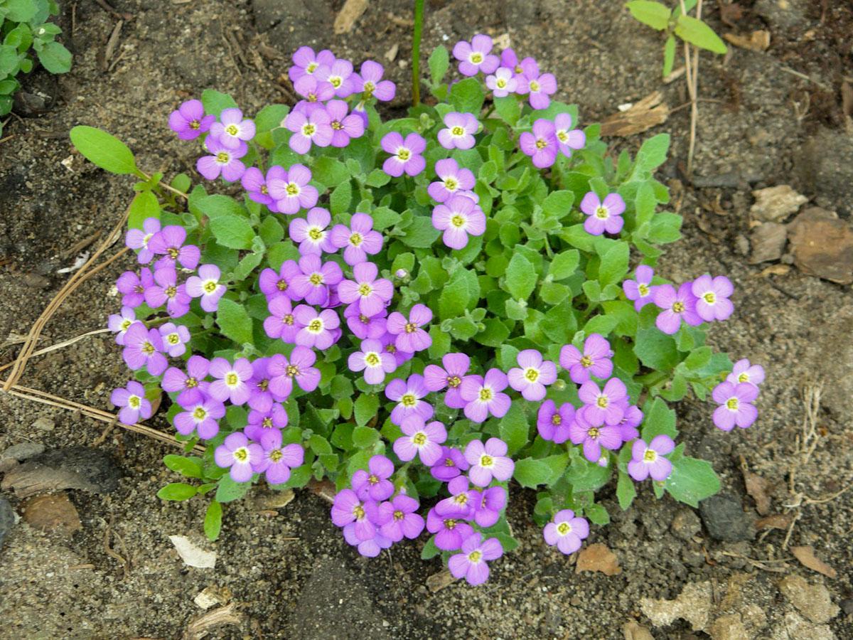 Gėlė darželinė aubretė