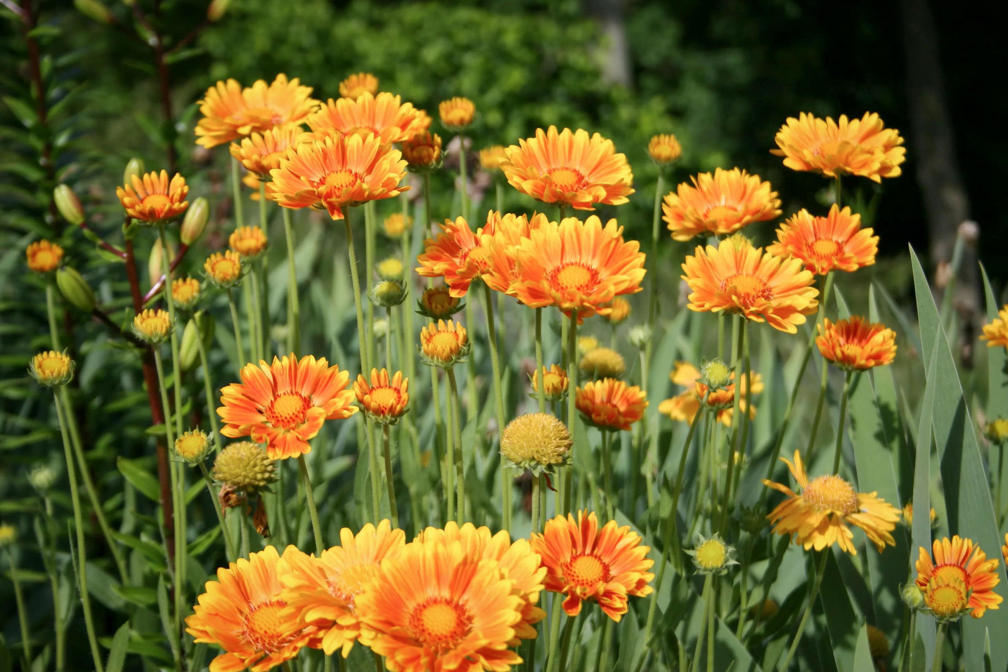Gėlė gailiardija