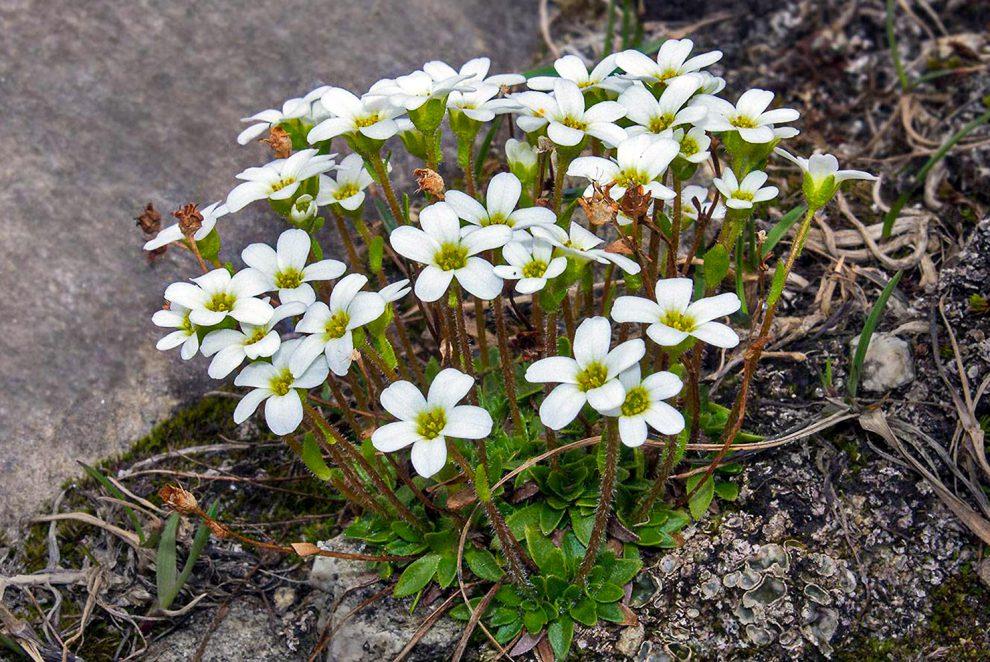 Gėlė uolaskėlė