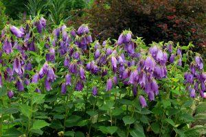Gėlė varpelis (campanula)