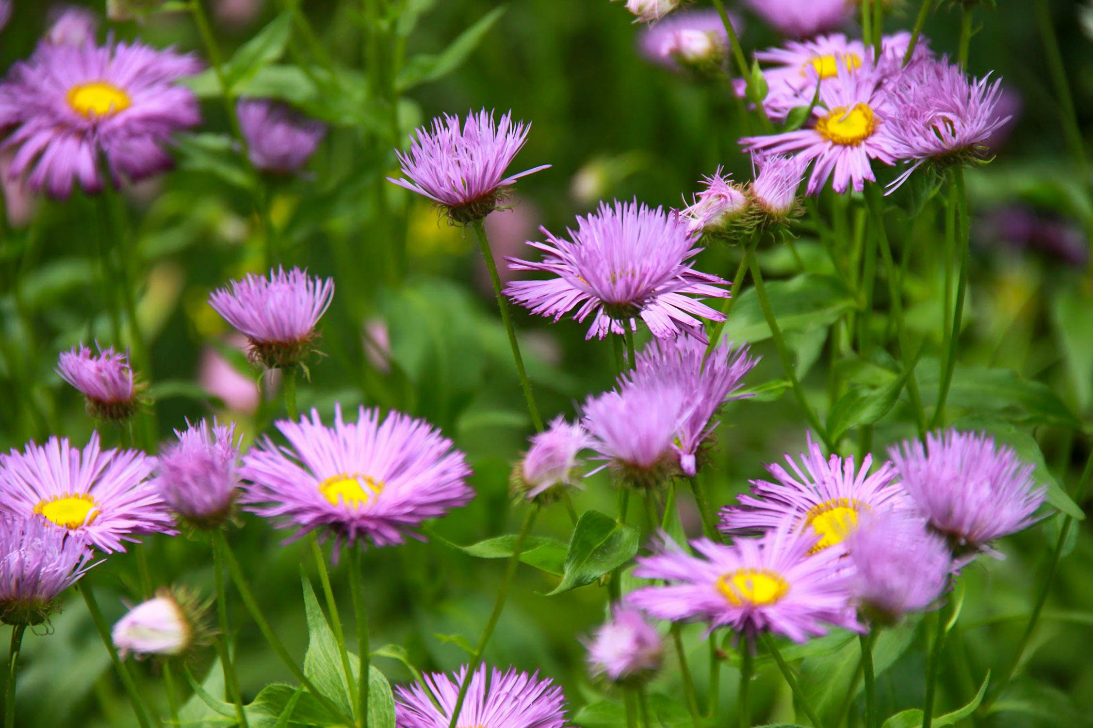 Gėlės astros