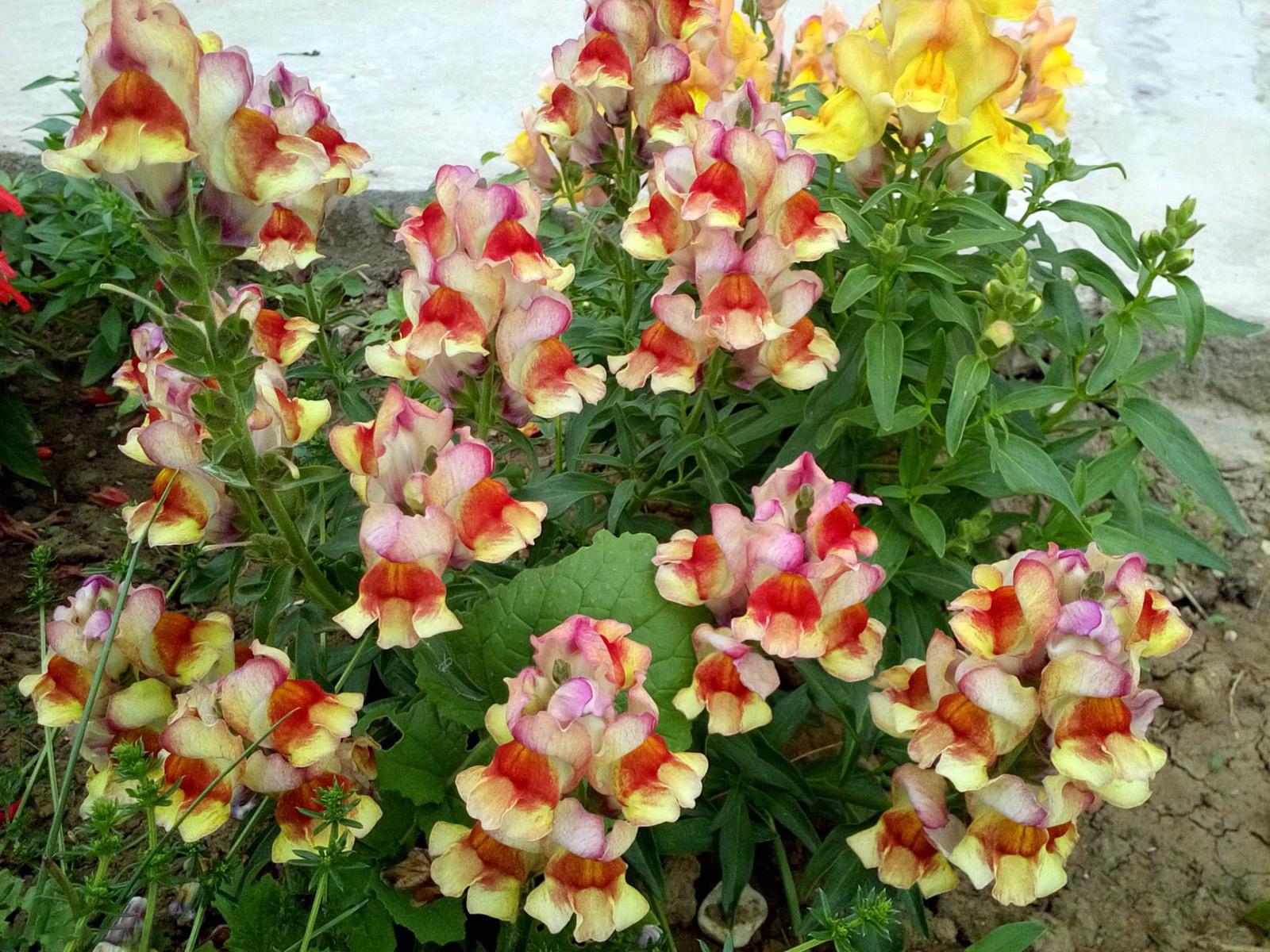 Gėlės žioveiniai