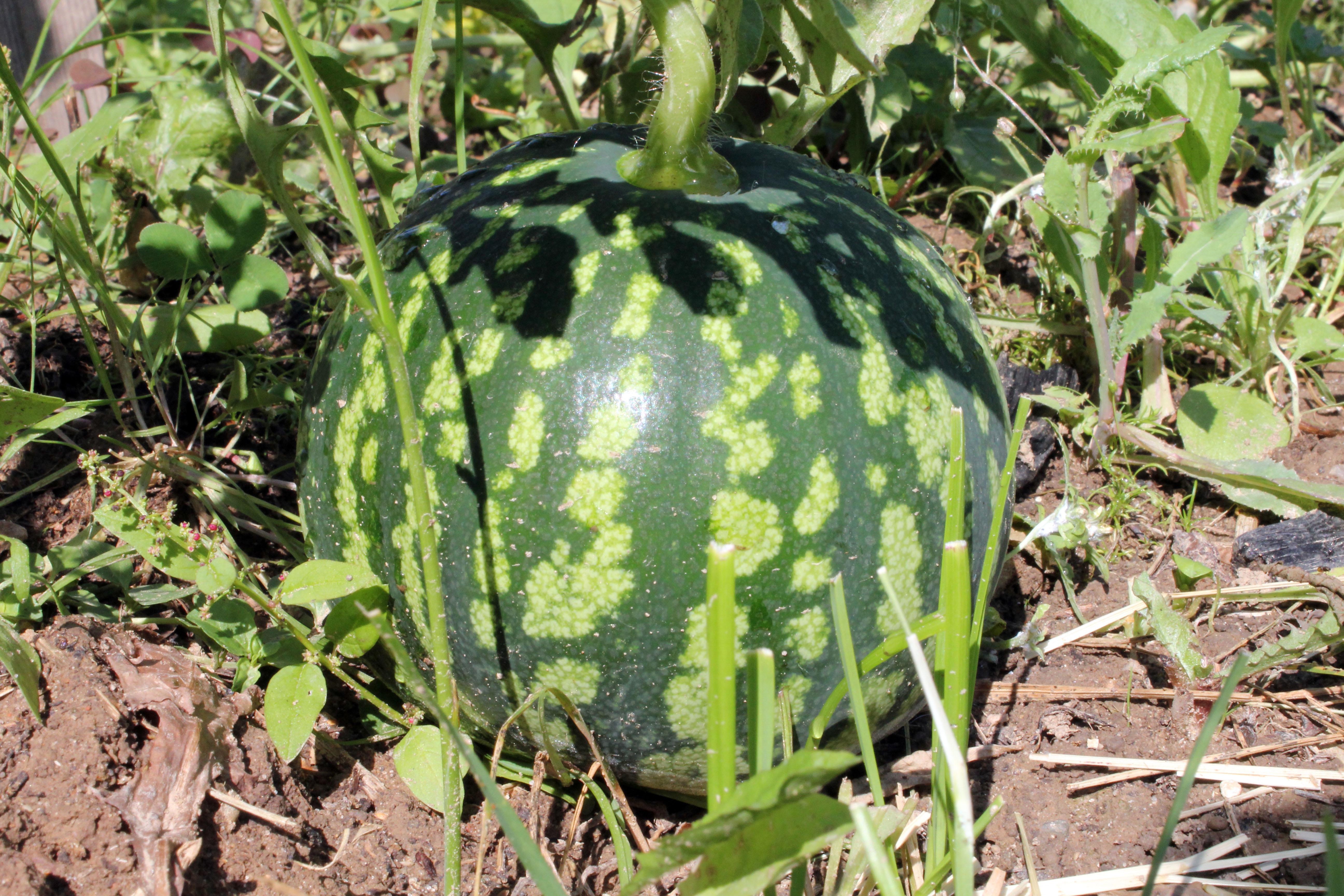 Kaip auginami arbūzai