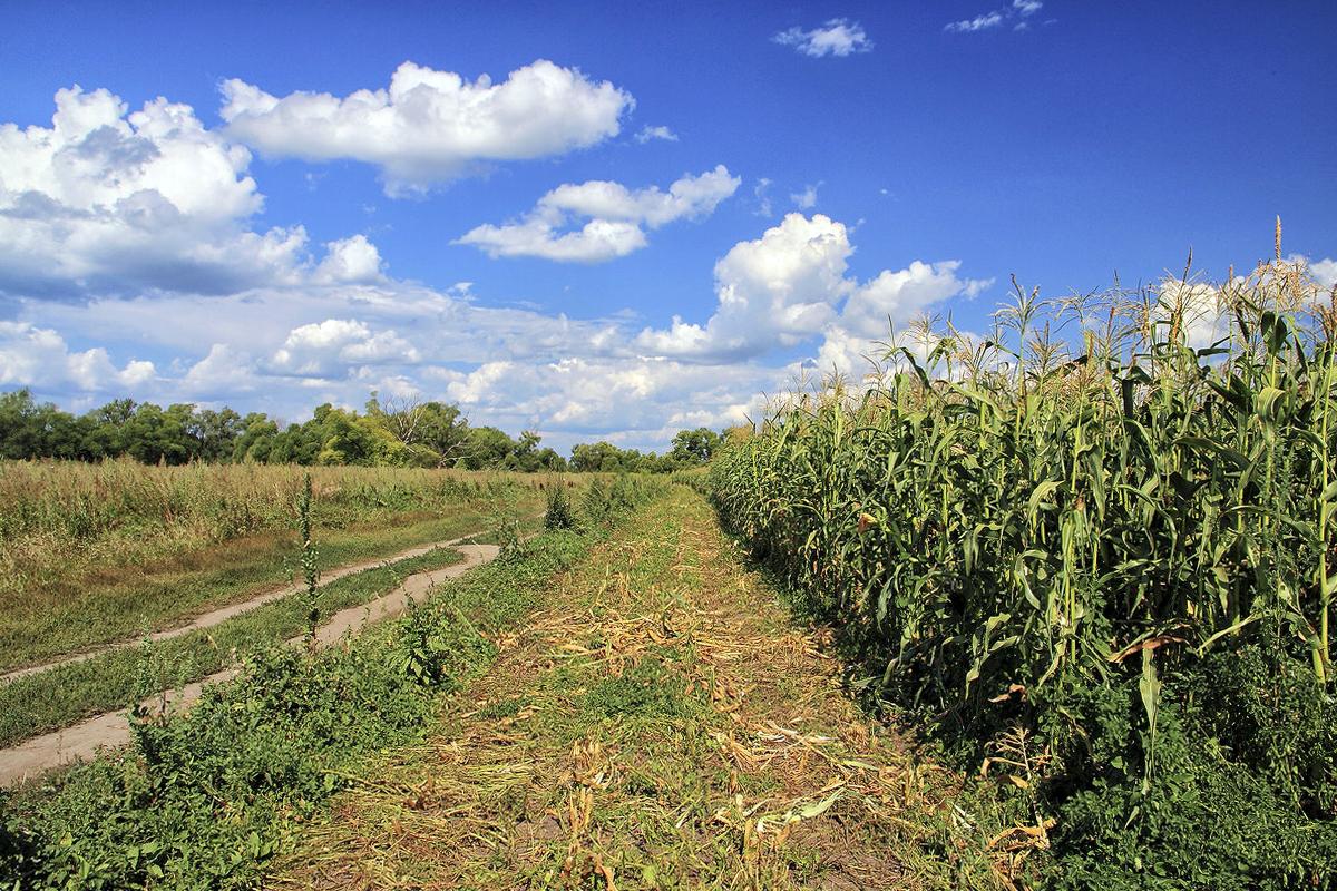 Kukurūzo augalas