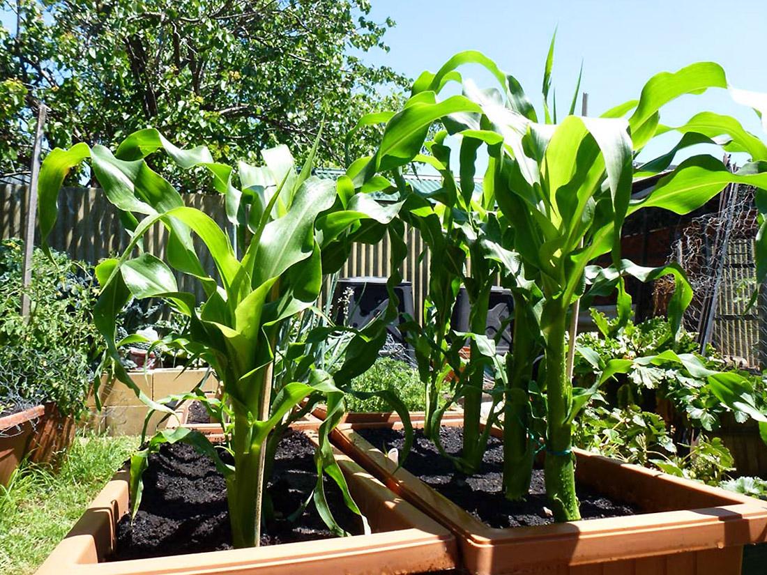 Kukurūzų auginimas
