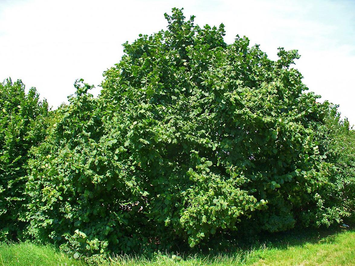 Lazdynų medis